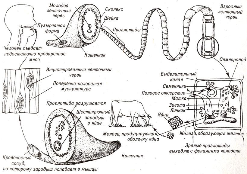 Цикл развития бычьего цепня,