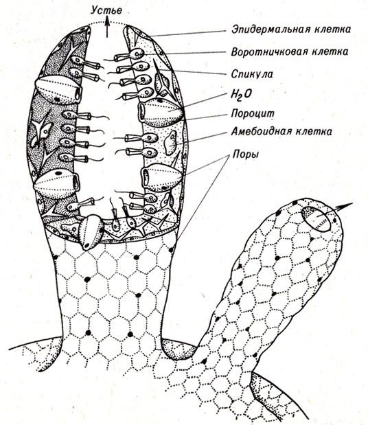 Схема строения губки